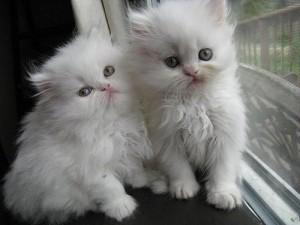 Blue Eyed White Persian Kittens
