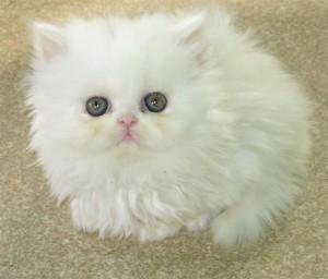 Persian Kittens Available