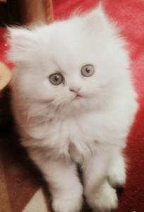 Stunning Persian Kitten For Re-homing.