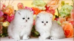 white persian kittens avialable for a good home........
