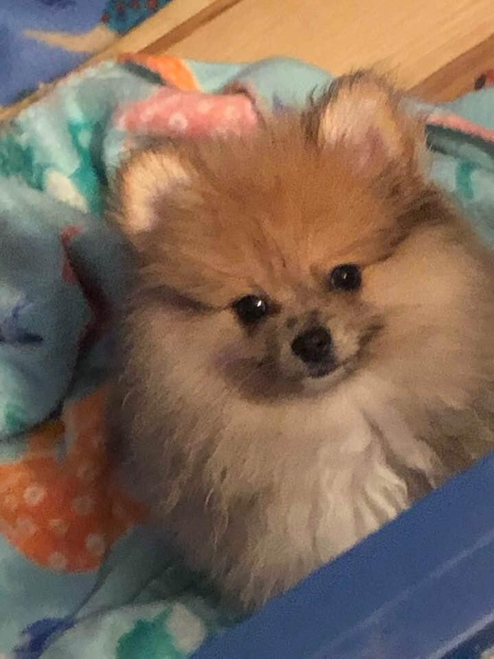 ACA TEDDY BEAR SABLE POMERANIAN PUPPY