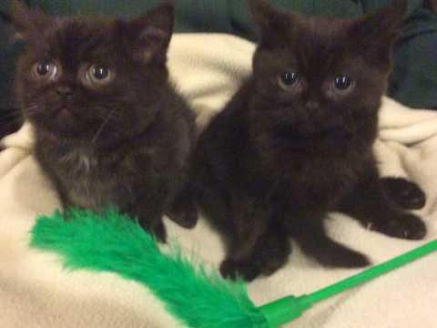 Adorable CFA Persian Kittens