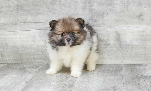 Micro Pomeranian Puppies For Sale