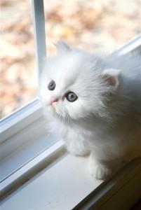 GOGEOUS AND ADORABLE PERSIAN KITTEN FOR ADOPTION