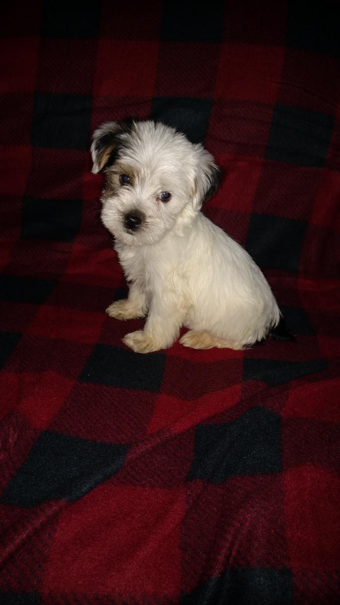 Male parti colored yorkie puppy