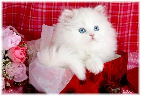 Beautiful Pure white loving Persian...