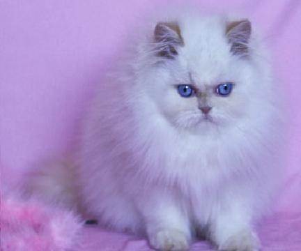 Beautiful Pure white loving Persian Kitten for adoption