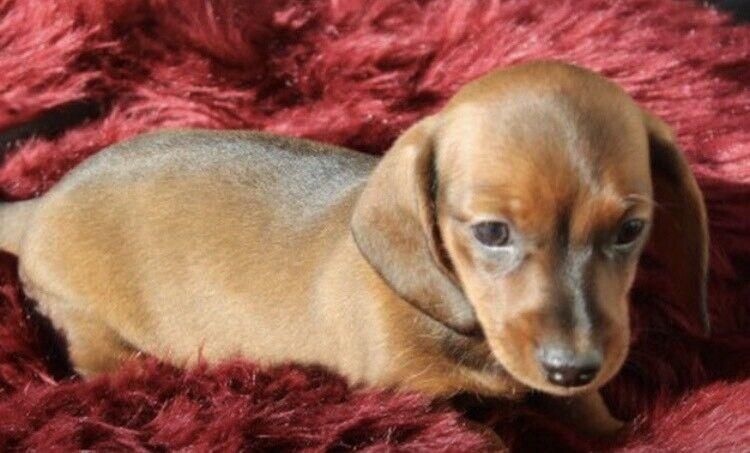 CKC registered red F miniature Dachshund puppy