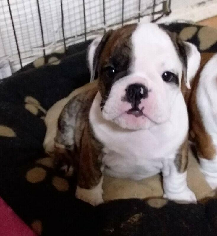 ☆CUTENESS OVERLOAD☆ENGLISH BULLDOG PUPPIES☆