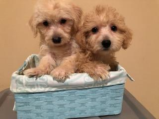 Maltipoo Puppies Nonshed 10wks