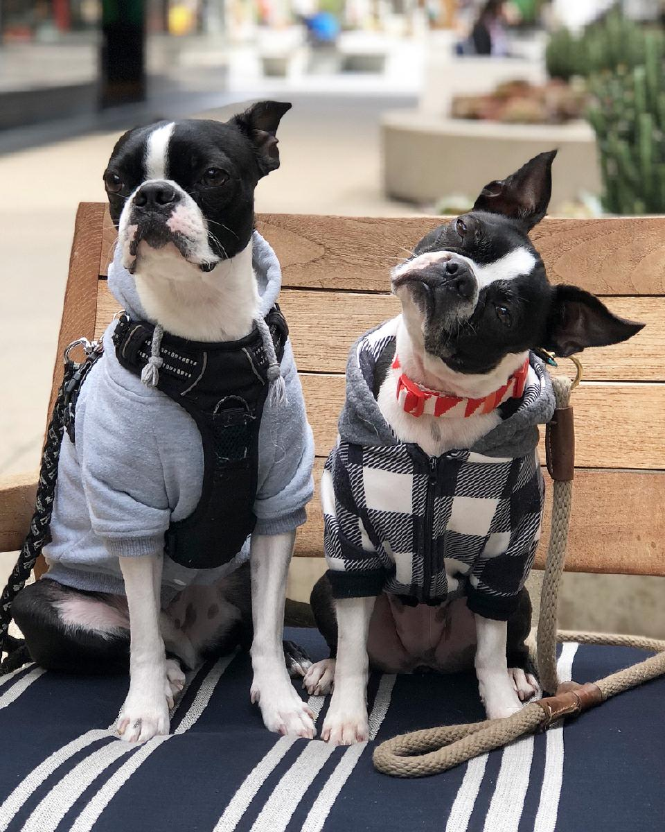 Boston terrier puppies available and ready for Rehoming