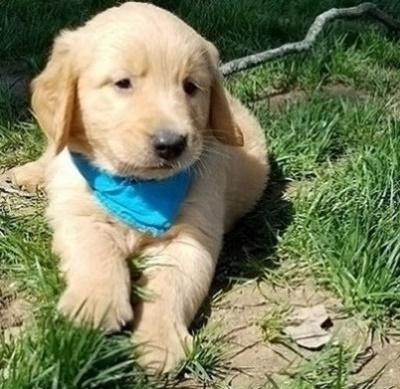 Determined Golden retriever puppies ready