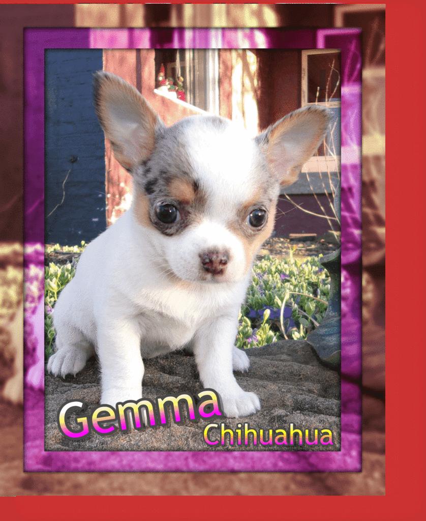 Gemma Female Chihuahua Puppy