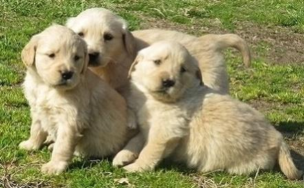 Glowing Golden retriever puppies ready