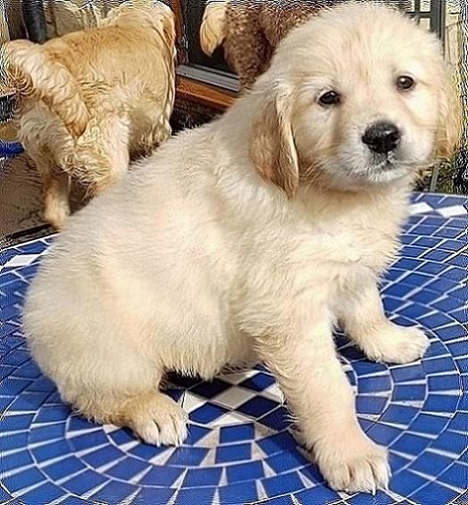 Placid Golden retriever puppies ready