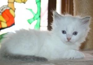 2 male and female Exotic Short Hair Persian Kittens