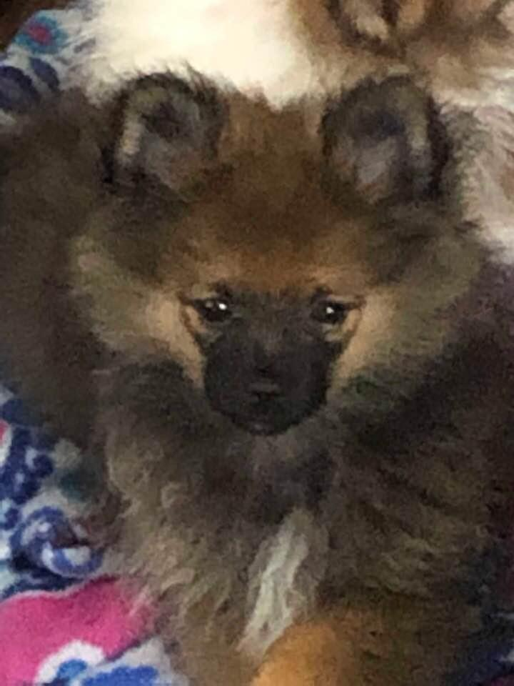 ACA TEDDY BEAR POMERANIAN PUPPY