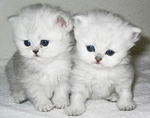 ADORABLE MALE AND FEMALE PERSIAN KITTENS FOR ADOPTION.