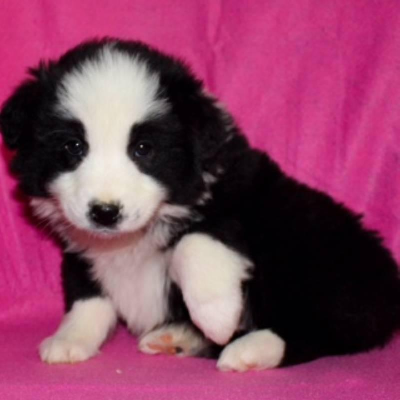 Stella female Miniature Australian Shepherd