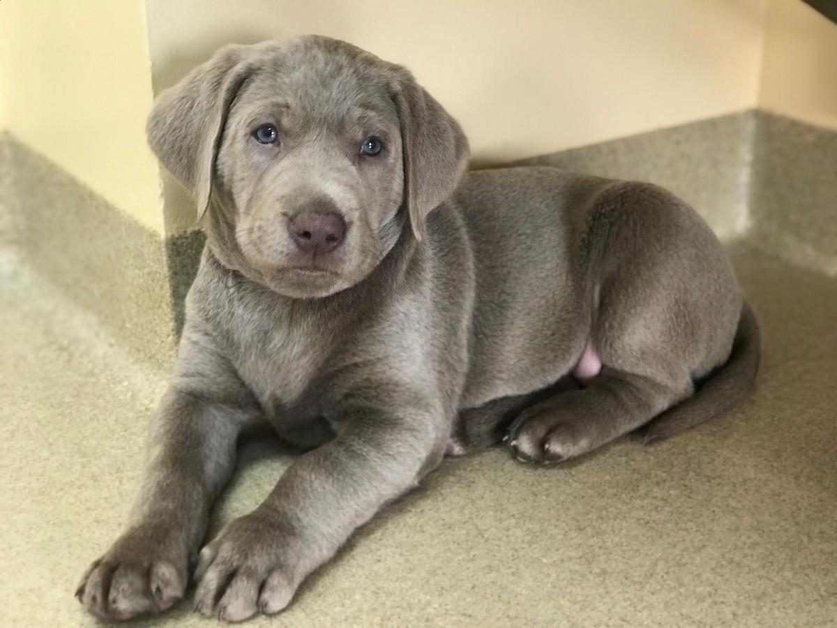 Beautiful silver lab puppies