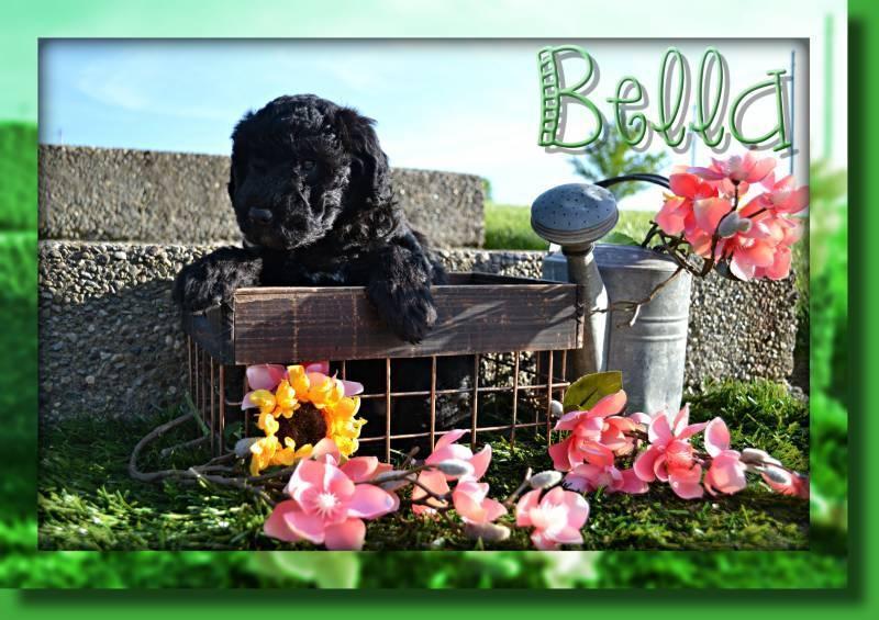 Bella Female Mini Whoodle