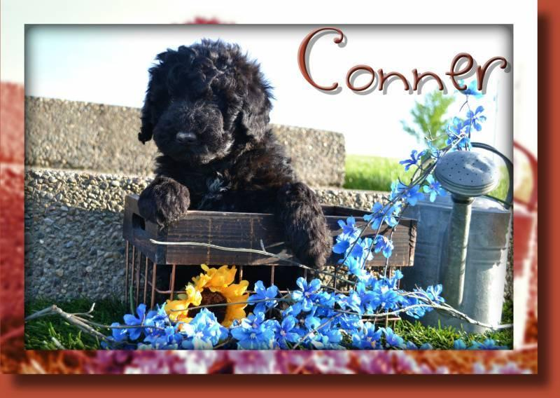 Conner Male Mini Whoodle