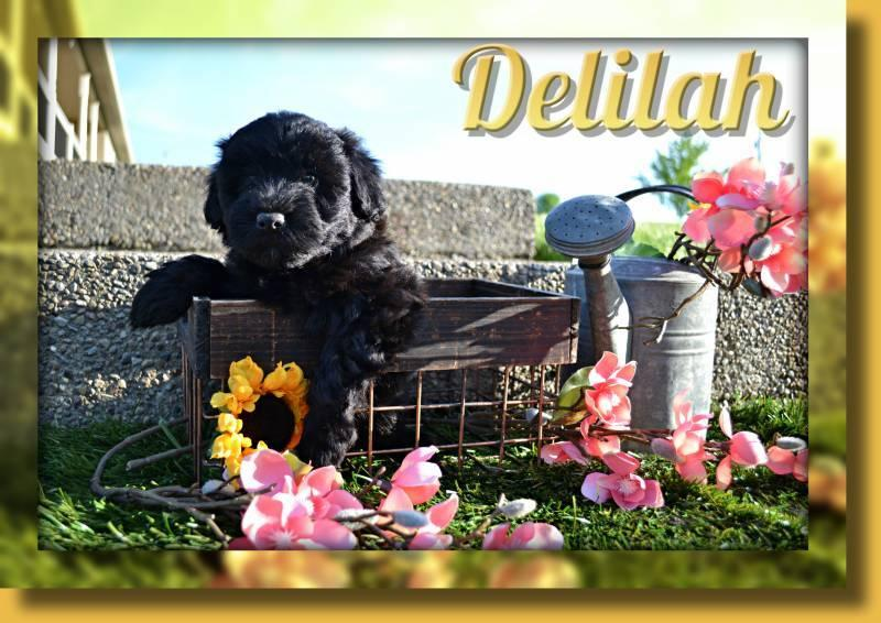Delilah Female Mini Whoodle