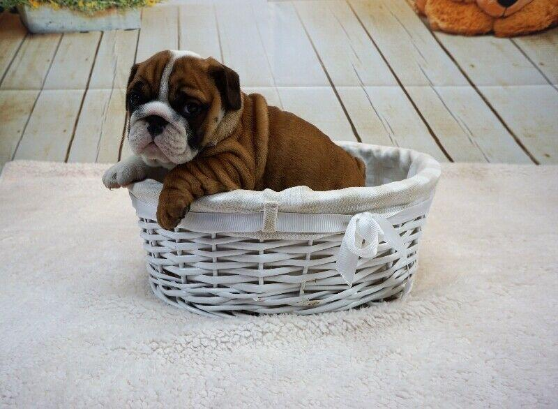 English Bulldog Puppy CKC Registered