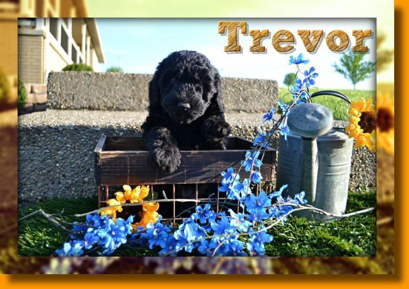 Trevor Male Mini Whoodle