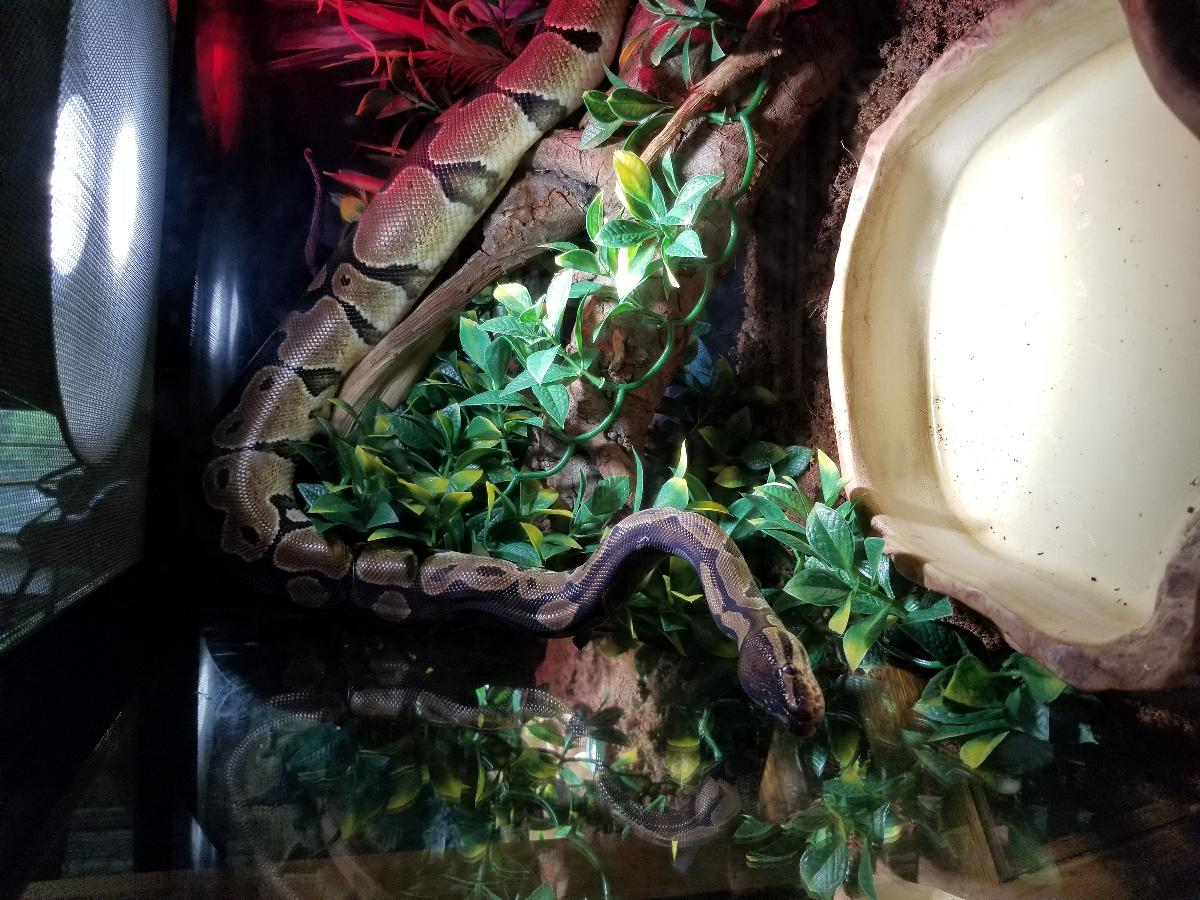 3 foot ball Python male with everything needed