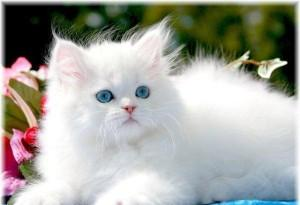 ADORABLE DOLL FACE PERSIAN KITTENS FOR ADOPTION