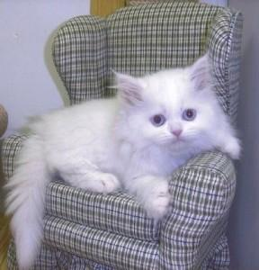 BEAUTIFUL SOLID WHITE BLUE EYED PERSIAN FEMALE KITTEN!