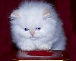 Male And Female Persian kittens For Sale Now Ready