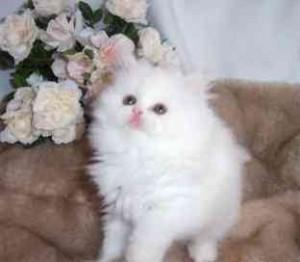 Outstanding Snow white Female Persian Kitten for Adoption