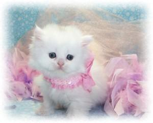 lovely Persian kittens for adoption.