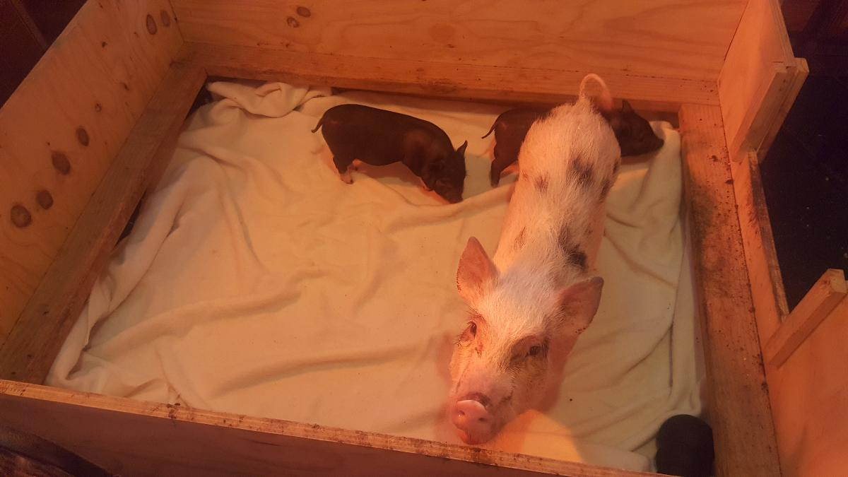 FREE 3 Adult Mini Pigs and  Mini Piglets