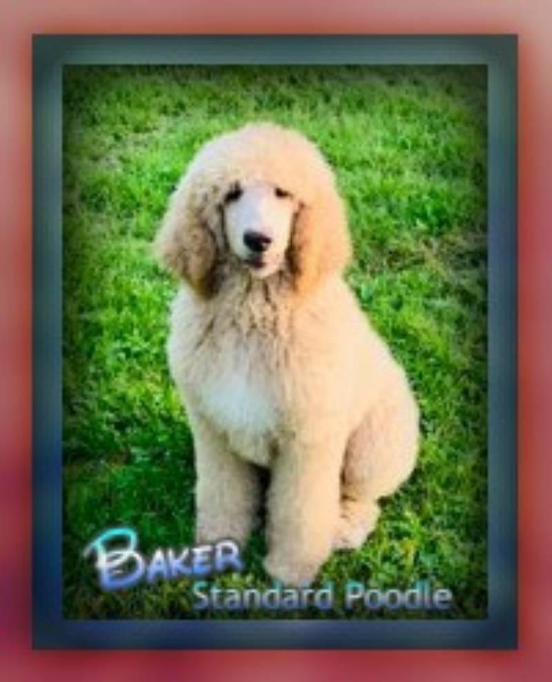 Baker Male Standard Poodle