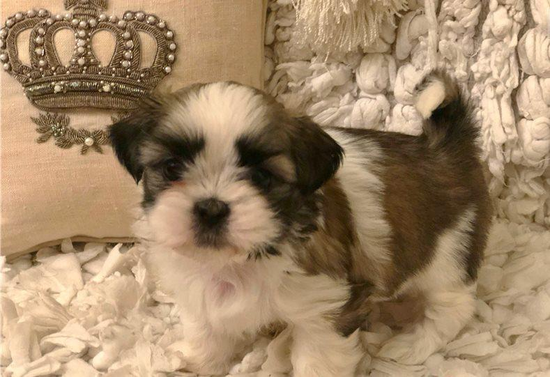 AKC Shih Tzu Puppies 2 males and 3 females