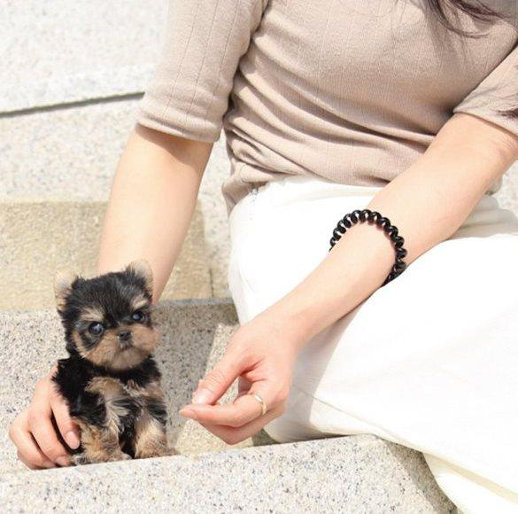 AKC boys and girls Teacup Yorkie Puppies available