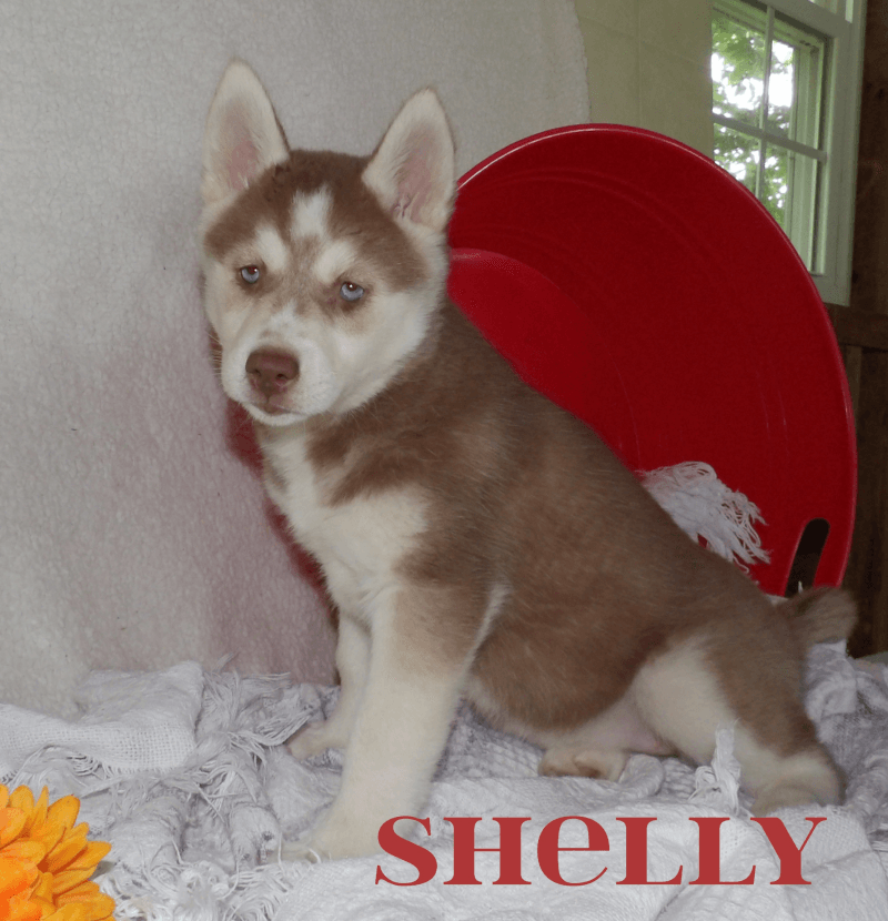 Shelly Female Siberian Husky