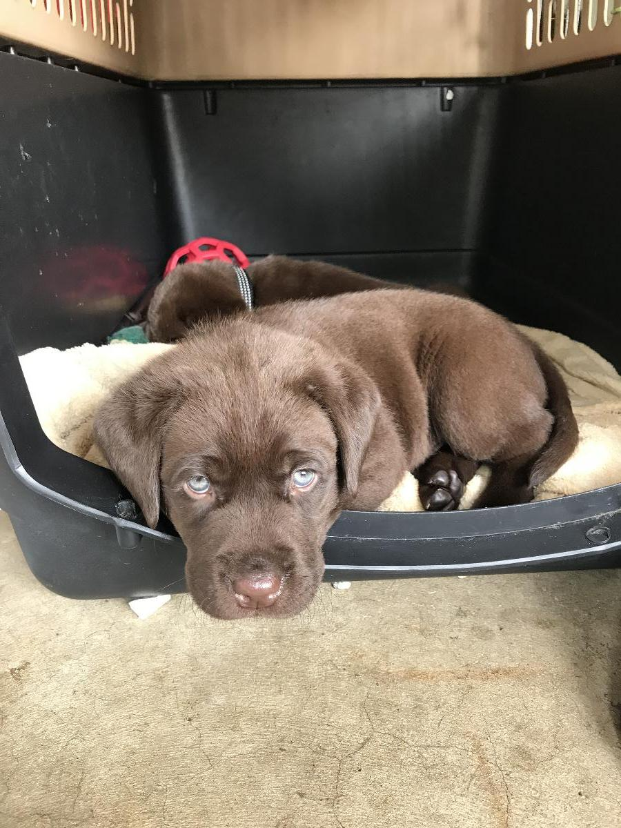 AKC registered Labrador retriever pups