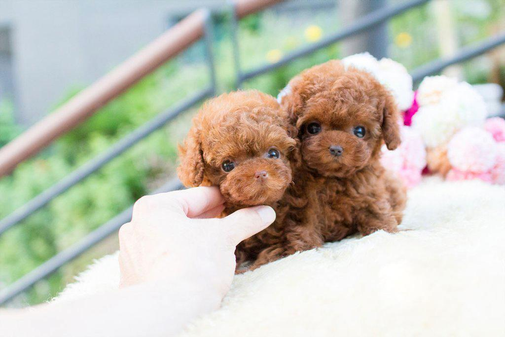 Tiny Teacup Poodle Puppies for sale