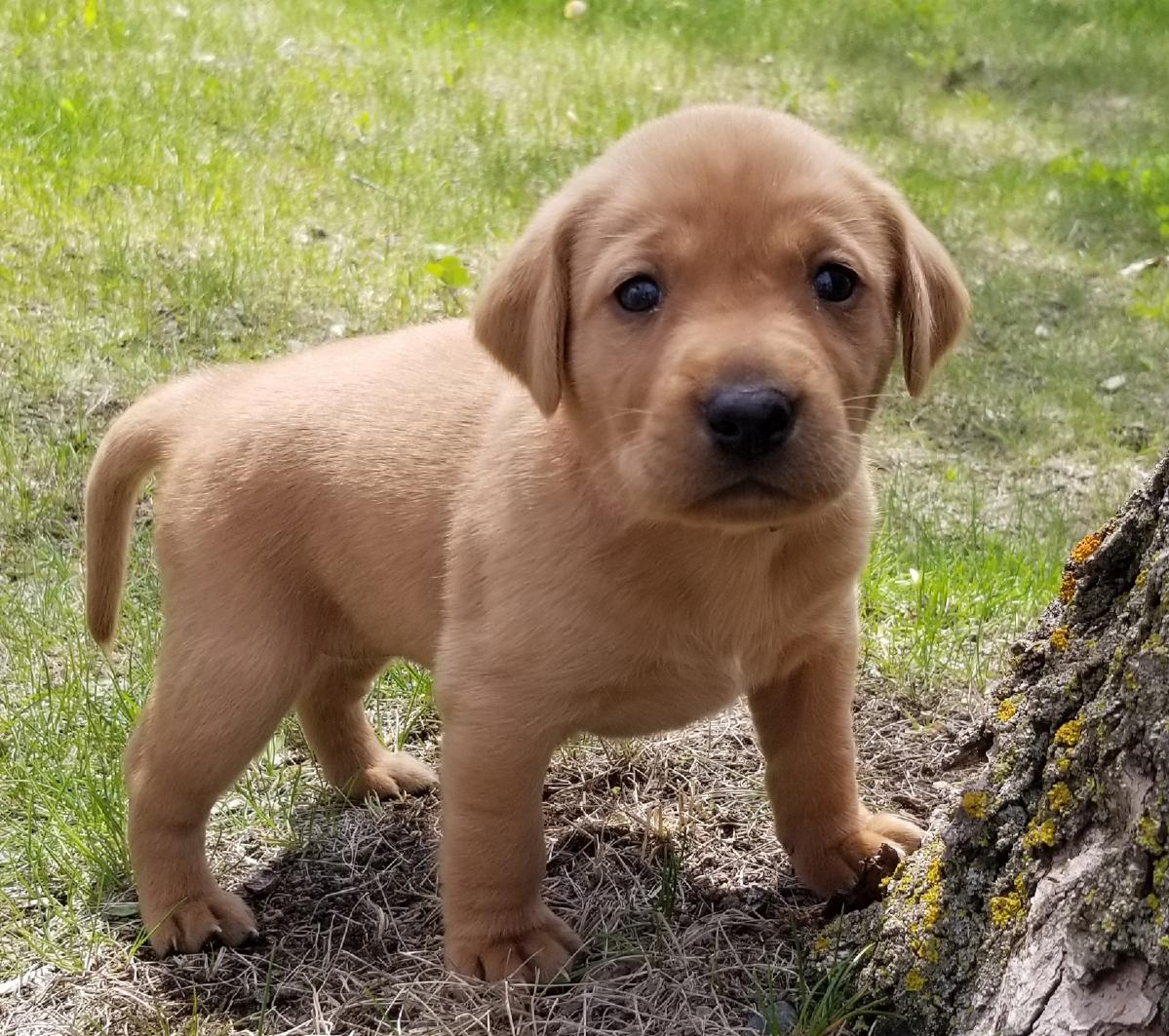 AKC Fox Red Labrador Puppies