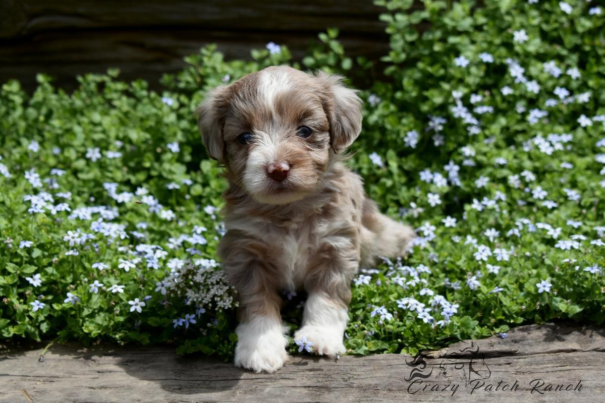 Tiny Toy Aussiedoodle Puppies