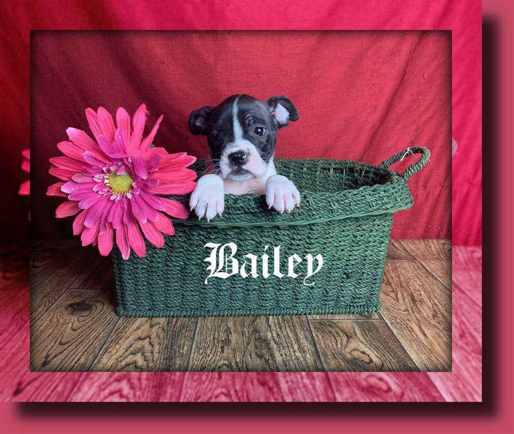 Bailey Female Frenchton