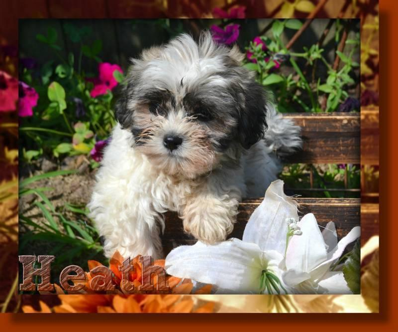Heath Male Shih-Chon Teddy Bear