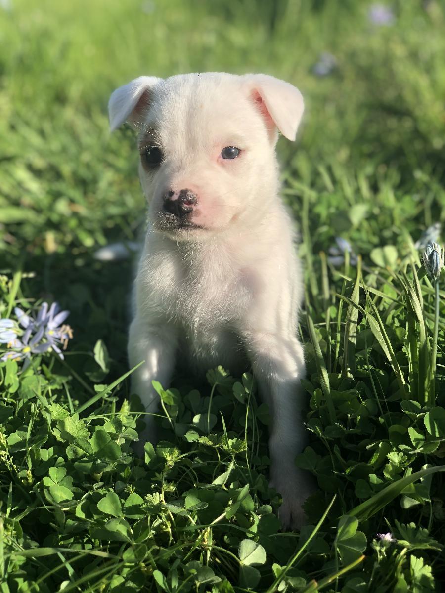 Husky / Bully Puppy!