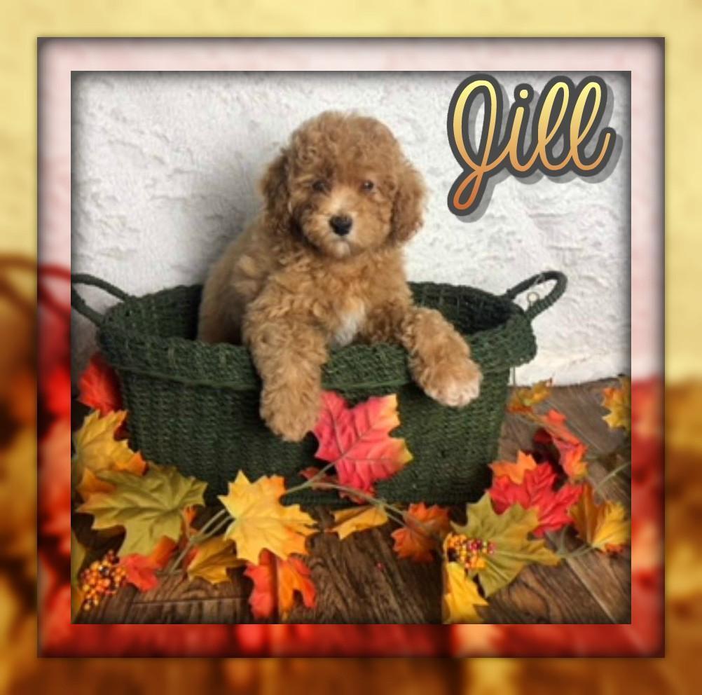 Jill Female Mini Poodle