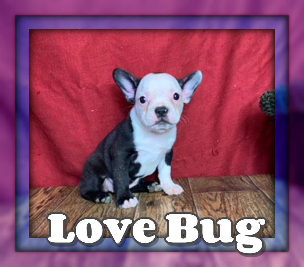 Love Bug Female Frenchton