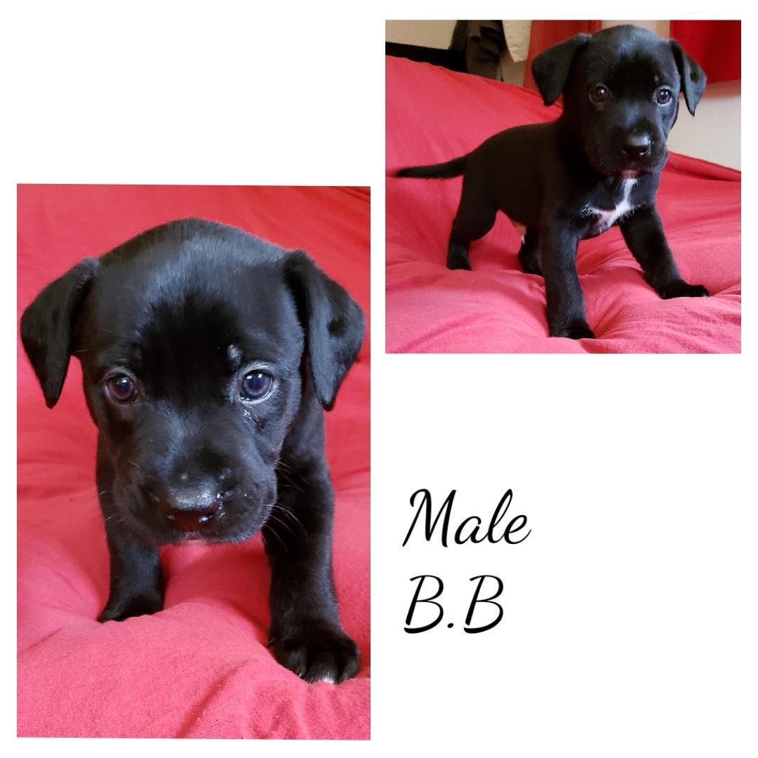 Pitbull/ Boxer pups